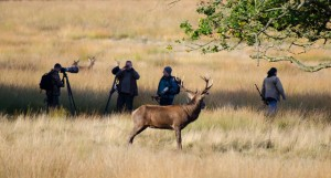 Red deer stag being photographed