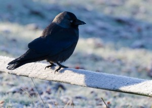 Jackdaw sitting on fence that is covered in frost