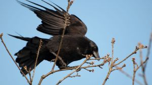 crow_in_tree_in_wind_copyrightRhiannonOrmerod.jpg
