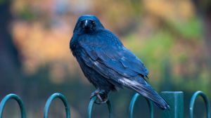 crow_on_railings_copyrightRhiannonOrmerod.jpg