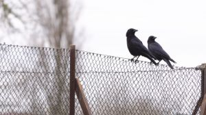 crows_sitting_on_the_fence_copyrightRhiannonOrmerod.jpg