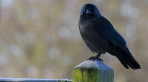 jackdaw_on_fence_post_copyrightRhiannonOrmerod.jpg