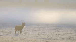 deer_in_the_mist_copyrightRhiannonOrmerod.jpg