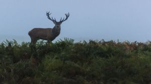 red_deer_stag_on_the_hill_copyrightRhiannonOrmerod.jpg