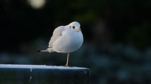 black_headed_gull_standing_copyrightROrmerod.jpg
