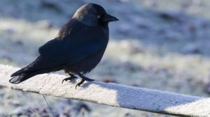 jackdaw_in_the_frost_copyrightRhiannonOrmerod.jpg