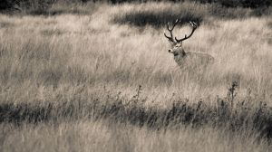 red_deer_stag_mono_copyrightRhiannonOrmerod.jpg