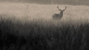 red_deer_stags_bellows_mono_copyrightRhiannonOrmerod.jpg